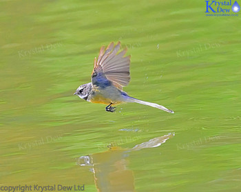 Fantail Flying Over The Water