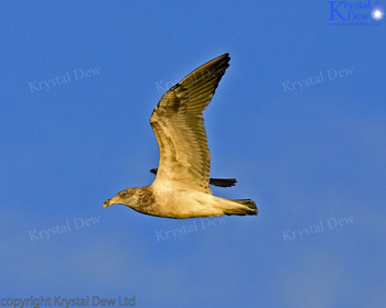 Black Backed Gull - Juvenile