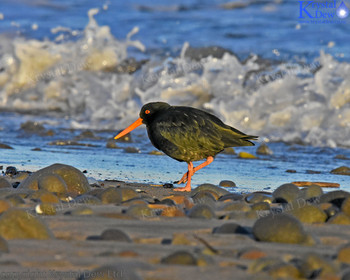 Variable Oystercatcher,