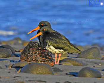 Pair Of Variable Oystercatcher,