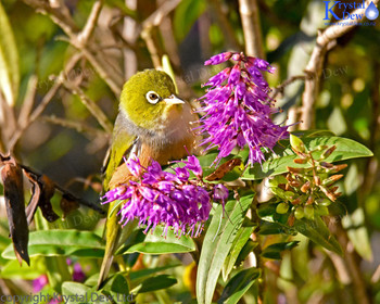 Silvereye In The Hebe