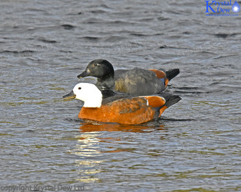Pair Of Paradise Shelduck