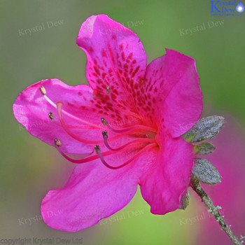 Pink Azaleas in flower