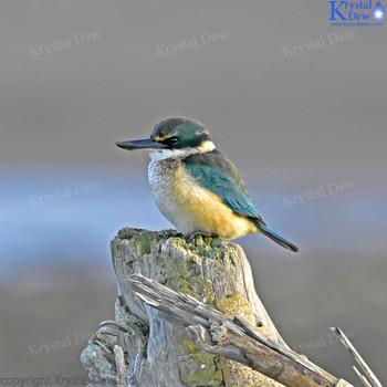 NZ Sacred Kingfisher