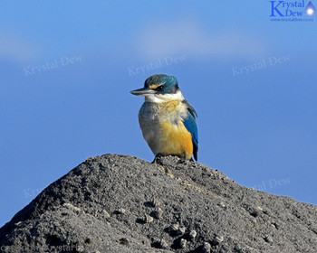 NZ Sacred Kingfisher