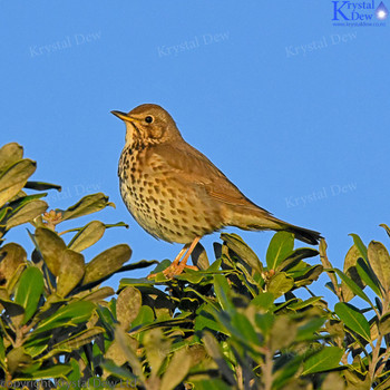Thrush Singing At Dawn