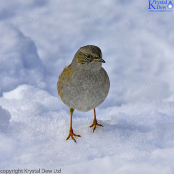 Dunnock In The Snow