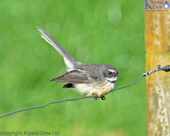 Fantail On An Electric Fence