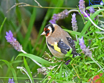 Goldfinch In The Lavender