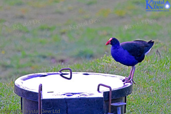 Pukeko On A Trough