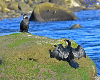 Pair Of Little Shag