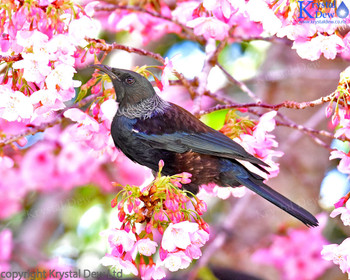 Tui In The Cherry