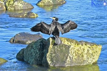 Black Shag Drying Its Wings