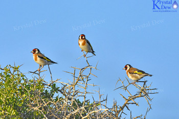 Goldfinch In The Boxthorn