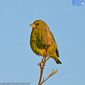 Greenfinch At  Dawn