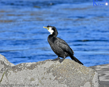 Little Shag On A Rock