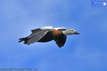 Female Paradise SHelduck Flying