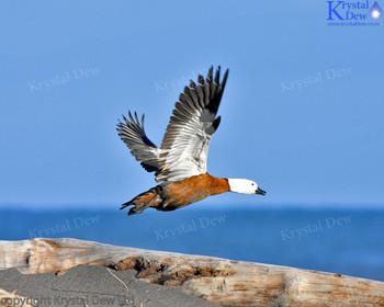 Paradise Shelduck Flying