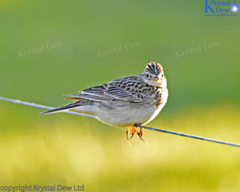 Skylark On A Wire