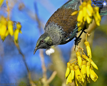 Tui In The Kowhai