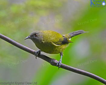 Male Bellbird