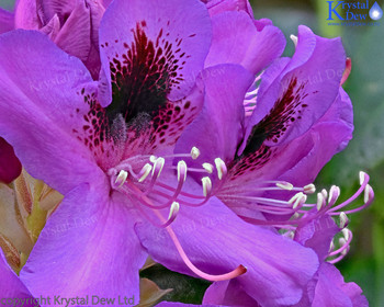 Beesting Rhododendron