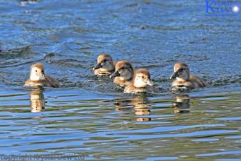 Scaup Ducklings