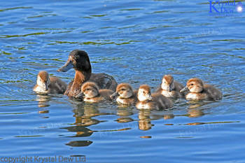 Scaup With Ducklings