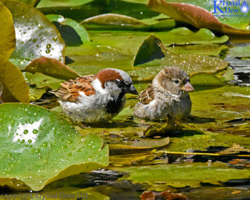 Sparrows Bathing In The Water Lillies