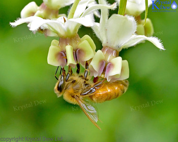Honey Bee On Swan Plant Flower