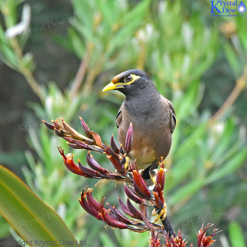 Myna In The Flax