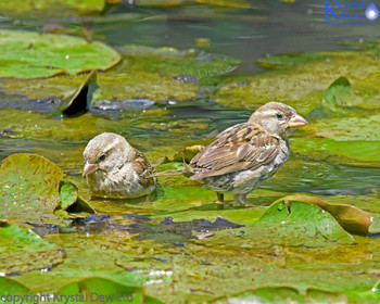 Sparrows On The illy Pads