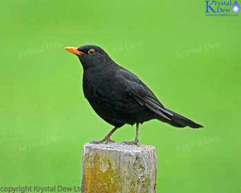 Blackbird on fence post