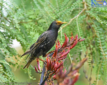 Starling In The Flax