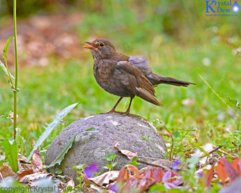 Blackbird on rock