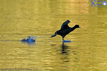 Austrlaian Coot Walking On Water