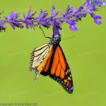 Monarch Butterfly In The Salvia