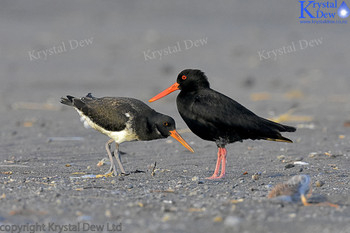 Variable Oystercatcher Adult & Juvenile