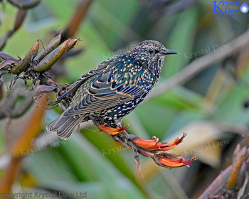 Starling On Flax