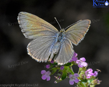Common Blue Butterfly on thyme