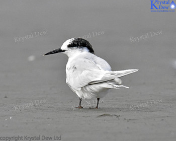 White Fronted Tern