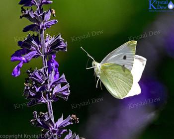 White Buttterfly