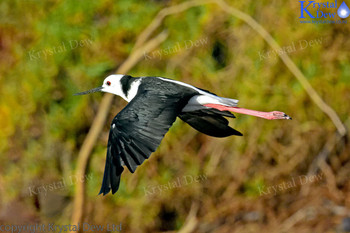 Pied Stilt In Flight