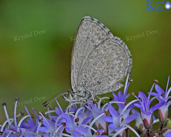 Blue Butterfly On Hebe