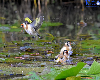 Goldfinch In The Water Lillies