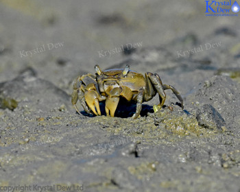 Mud Crabs
