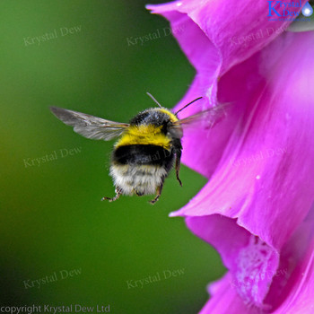 Bumblebee Flying Into A Foxglove