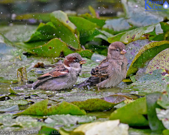 Sparrow In The Water Lillies