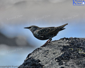 Starling At The Foreshore