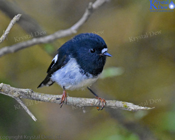 North Island Tomtit